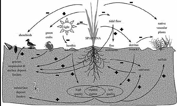 图15:互花米草侵入盐沼带来的生态系统,结构和功能的改变 指甲履螺的