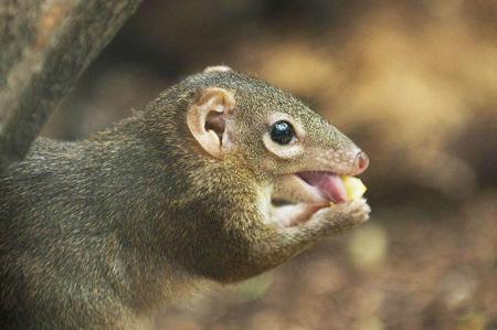 酷似松鼠的中缅树鼩起源何处?
